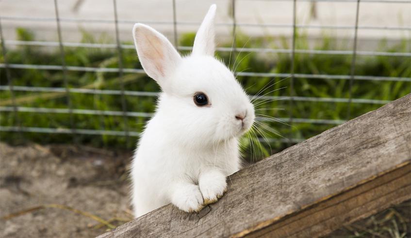 Tavşan-Rabbit